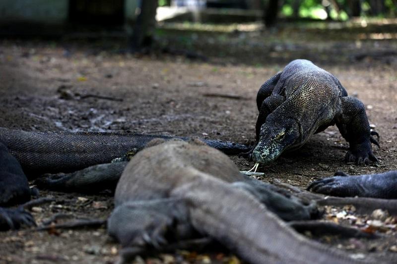 Indonesia đóng cửa Vườn quốc gia Komodo vào năm 2020