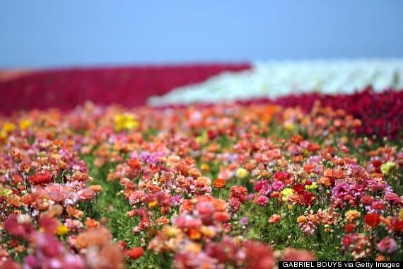 Cánh đồng hoa Carlsbad - California, Mỹ