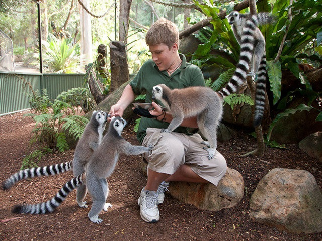 Đến vườn thú Cairns  bạn sẽ được âu yếm koala