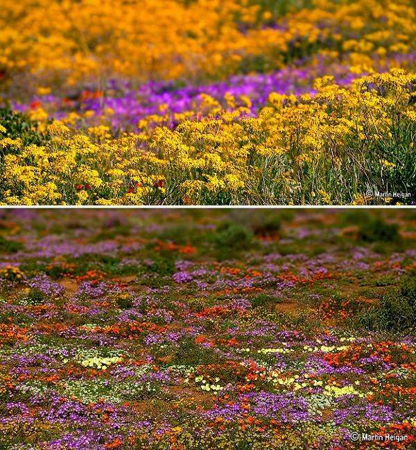 Đến châu Phi ngắm cảnh đẹp ngàn hoa cúc