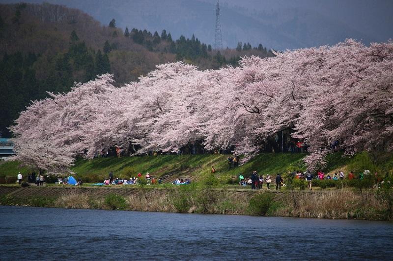Nagasaki chứng kiến những bông hoa anh đào đầu tiên khoe sắc