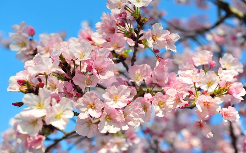 Nhật Bản: Bao giờ hoa Anh đào bắt đầu khoe sắc?