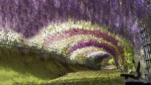 Ngất ngây với vườn hoa Kawachi Fuji, Nhật Bản