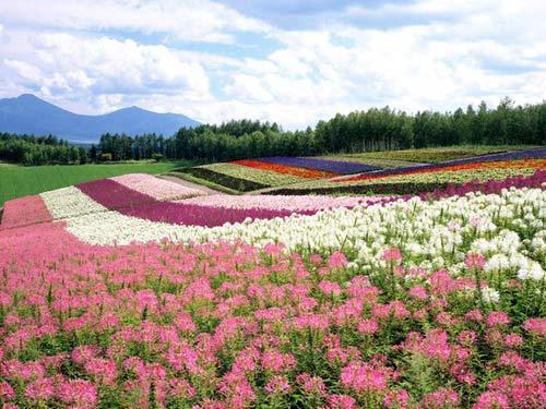 Tuyển 10 nữ trồng hoa tại Nhật Bản