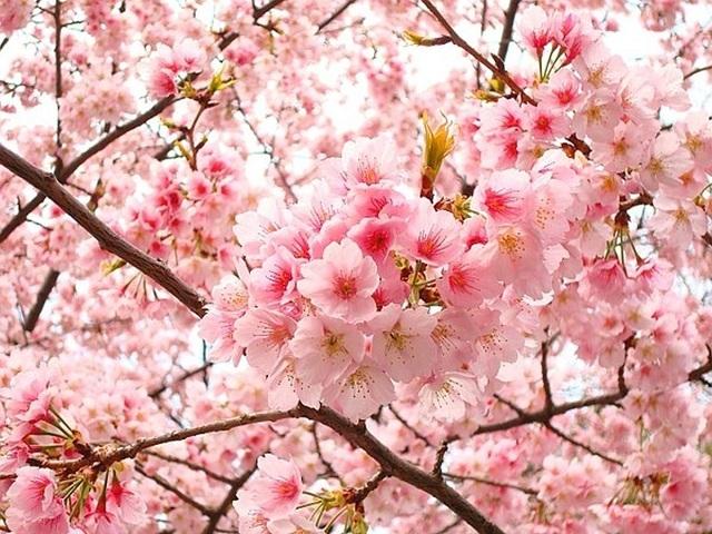 Thuần khiết nét đẹp những cụm hoa anh đào – quốc hoa xứ Phù Tang