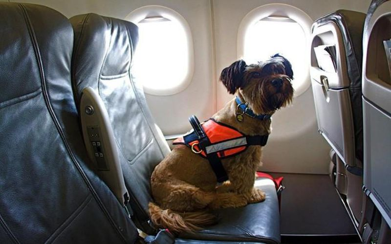 7 hãng máy bay nổi tiếng cho phép mang thú cưng đi muôn nơi