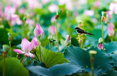 Thương nhớ một mùa hoa với 5 đầm sen đẹp nhất Việt Nam