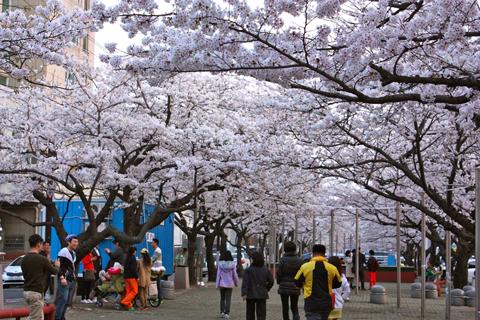 Ngắm những con phố rợp bóng hoa anh đào ở Hàn Quốc