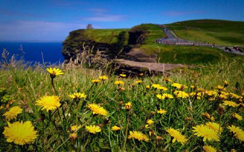 Đến Ireland chiêm ngưỡng vách đá Moher - mùa hoa bồ công anh nở