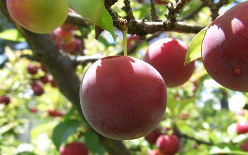 Những loại hoa quả đặc sản Sapa thơm ngon và hấp dẫn