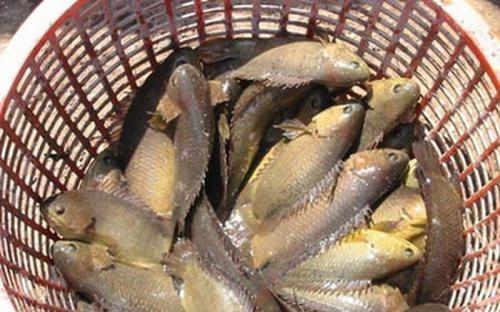 Cá rô Đầm Sét - món quà dân dã của Thanh Hóa
