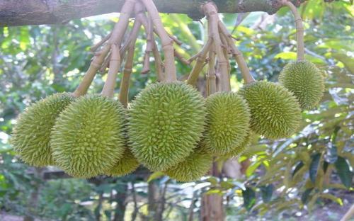 Bến Tre - Nơi du khách có thể tham quan những vườn trái cây trĩu quả