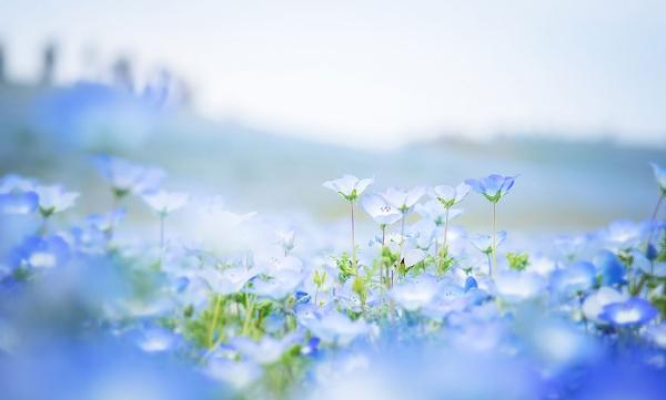 Cánh đồng hoa xanh ở Hitashi10
