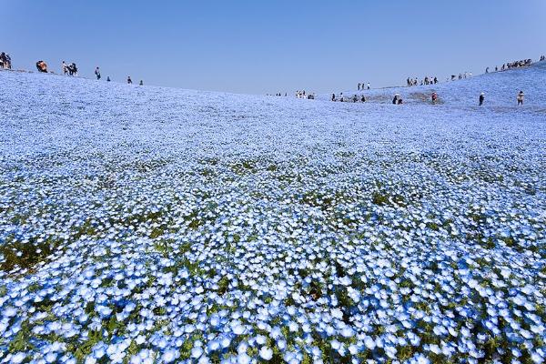 Cánh đồng hoa xanh ở Hitashi2