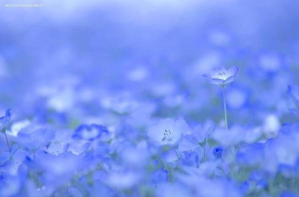 Cánh đồng hoa xanh ở Hitashi3
