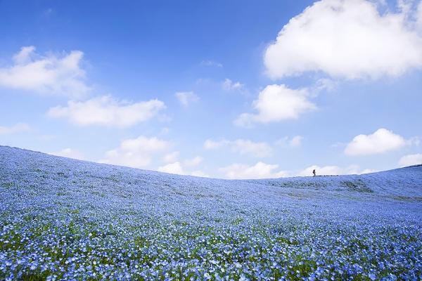 Cánh đồng hoa xanh ở Hitashi4