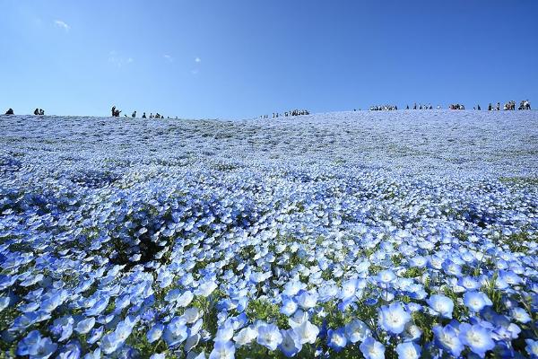 Cánh đồng hoa xanh ở Hitashi5