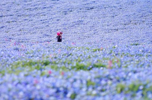 Cánh đồng hoa xanh ở Hitashi6