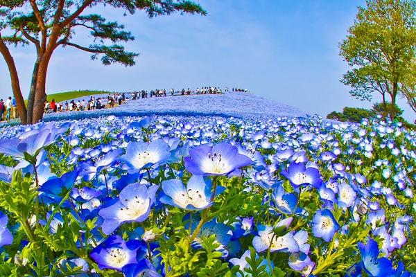Cánh đồng hoa xanh ở Hitashi7