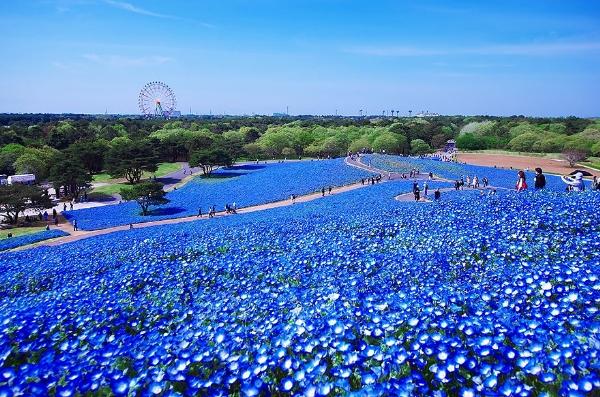 Cánh đồng hoa xanh ở Hitashi8