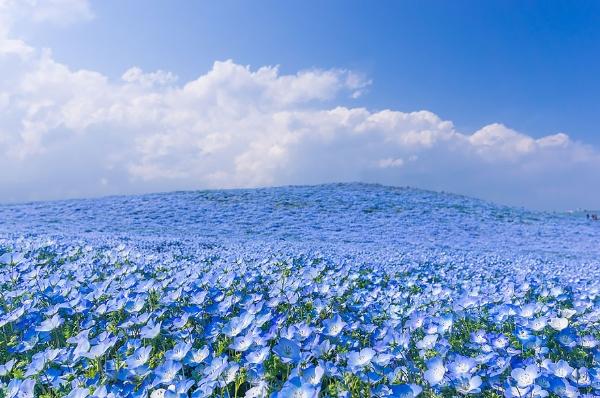 Cánh đồng hoa xanh ở Hitashi9