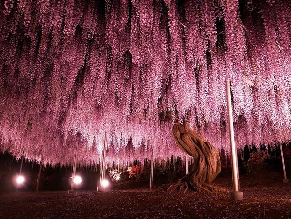 Cây đậu tía Nhật Bản