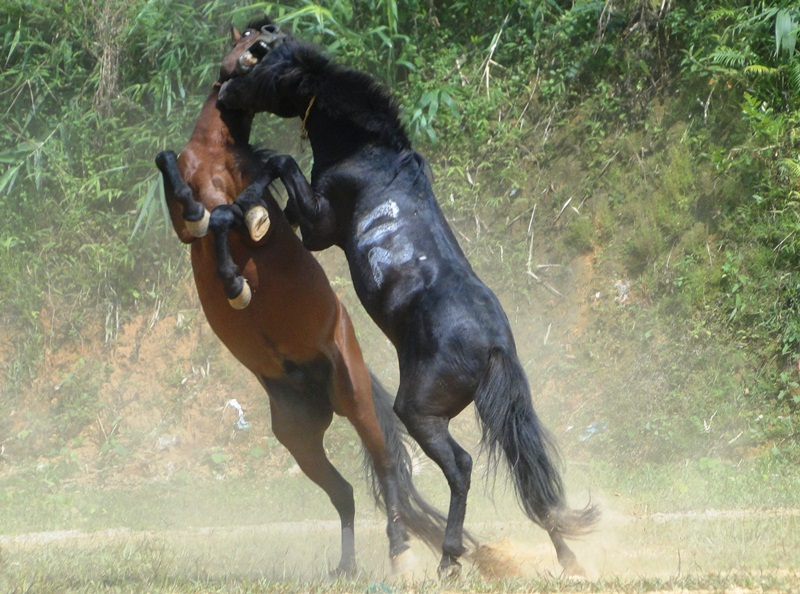 Chọi ngựa nảy lửa ở Hà Giang