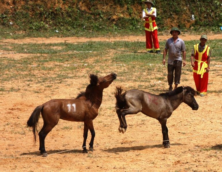 Chọi ngựa Hà Giang