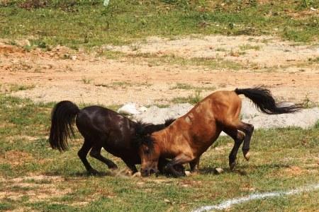 Chọi ngựa ở Hà Giang