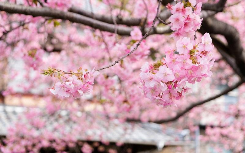Hoa Anh Đào biểu tượng mùa xuân Nhật Bản