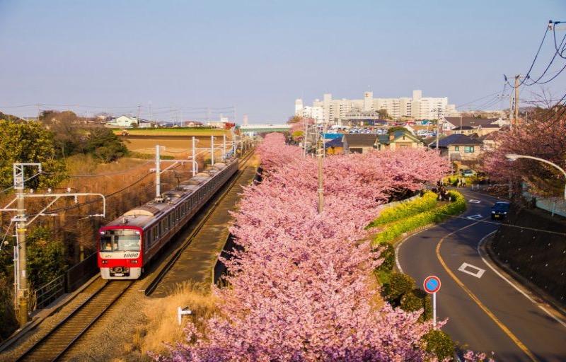 Hoa anh đào Kawazu