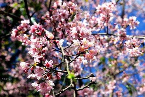 Vẻ đẹp đầy mê hoặc, quyến rũ của hoa mai anh đào