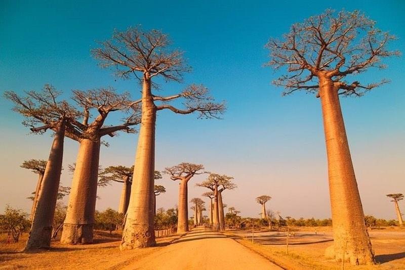 Đại lộ cây baobab là điểm check-in tuyệt đẹp tại Madagascar
