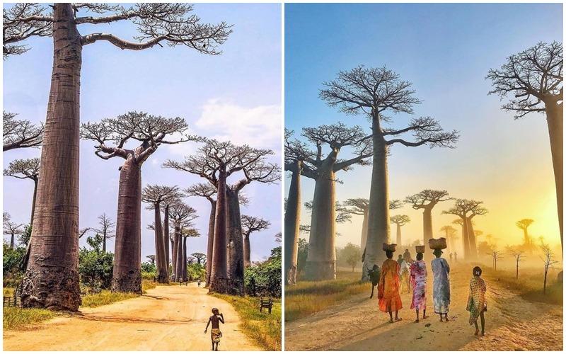 Baobab là loài cây có vai trò quan trọng với người dân Madagascar