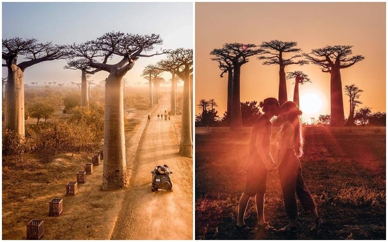 Vẻ đẹp tuyệt vời của đại lộ cây baobab lúc hoàng hôn