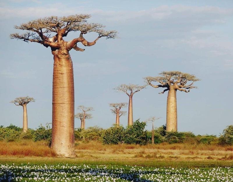 Khung cảnh tuyệt đẹp của những cây baobap Madagascar