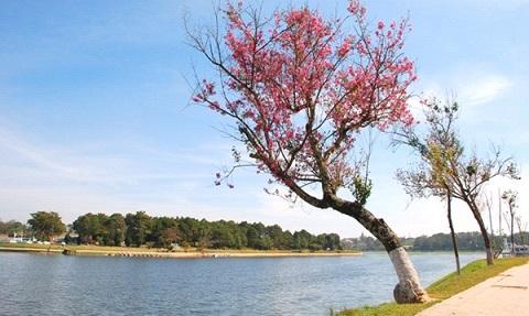Khó cưỡng lại vẻ đẹp hoa mai anh đào bên sông Hương