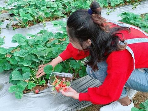 Vườn 88, dâu được trồng theo luống