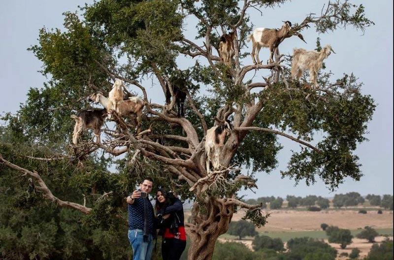 hiện tượng dê lao cây ở Ma-rốc