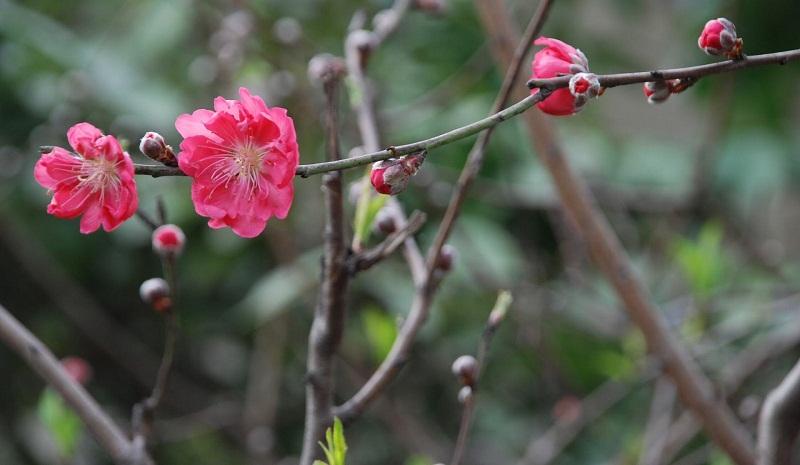 Hoa nở mang điềm lành đến cho năm mới