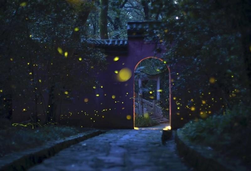 Hàng ngàn con đom đóm lấp lánh thắp sáng đền cổ Linh Cốc