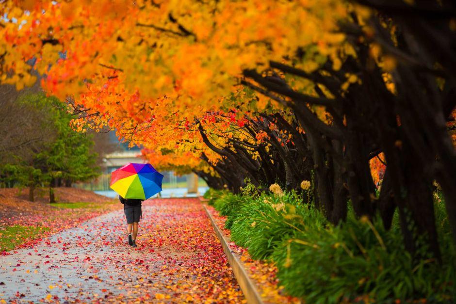 Lá vàng đẹp như thơ trong mùa thu của Úc