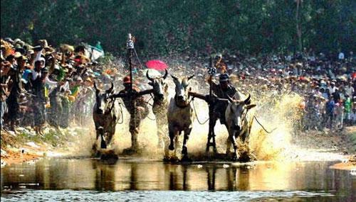 Náo nhiệt tại lễ hội đua bò An Giang