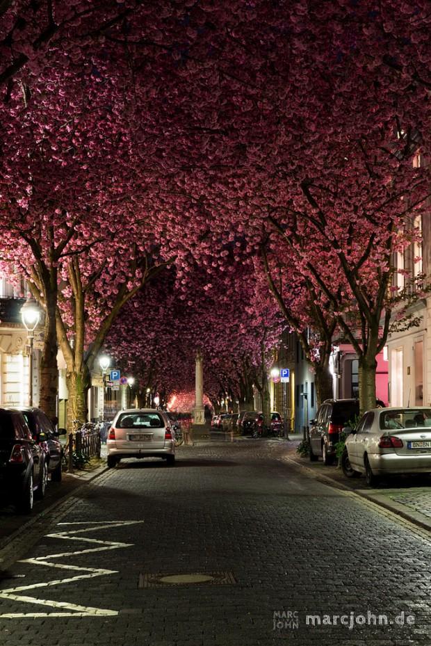 Đại lộ hoa anh đào Bonn, Heerstrasse.