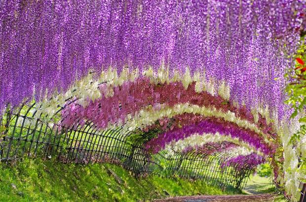 Đường hầm cây đậu tía, Nhật Bản