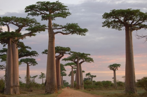 Con đường của những cây Baobabs