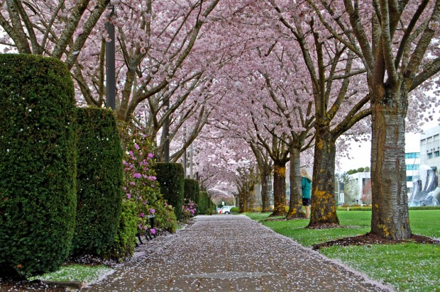 Đường hầm hoa anh đào ở Oregon.