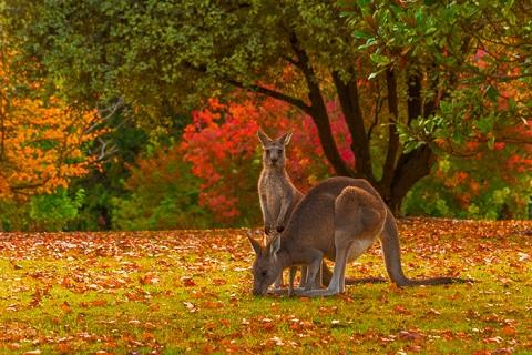 Kangaroo trong vườn thú Cairns, Úc