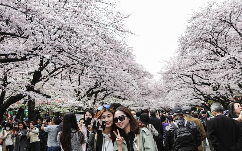 Hoa anh đào Nhật Bản nở rộ báo hiệu mùa xuân về