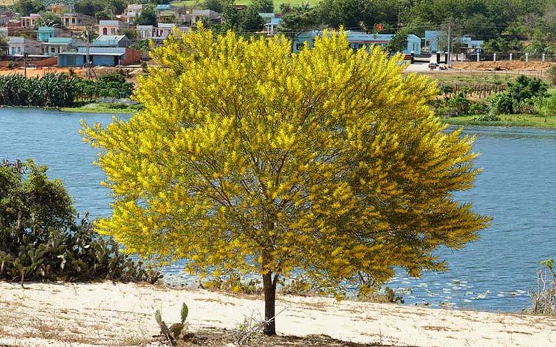 Choáng ngợp với sắc vàng của hoa keo lá tràm phủ kín một góc trời Phan Thiết
